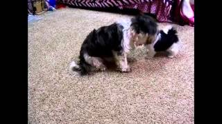 This Video Previously Contained A Copyrighted Audio Track. Due To A Claim By A Copyright Holder, The Audio Track Has Been Muted.     My Shih Tzu Addie Growing Up!
