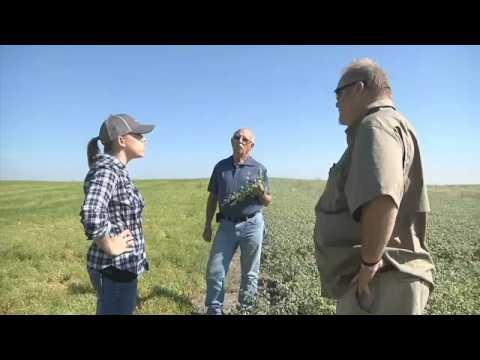 Industrial hemp new star crop in Montana agriculture   ABC FOX Montana Local News, Weather, Sports K