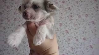 Питомник предлагает щенков китайской хохлатой собаки (рожд.07.04.2017).