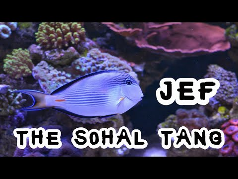 Jef The Sohal Tang