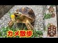 【デカ可愛い】大きなリクガメ3匹を日光浴だ! の動画、YouTube動画。