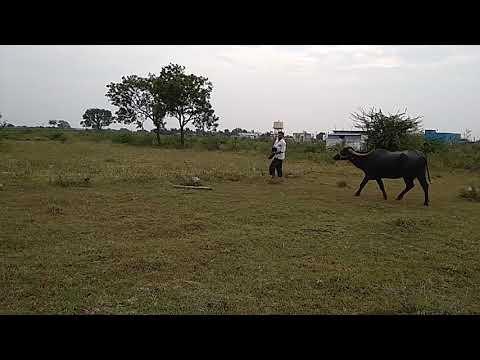 Basavakalyan buffalo race