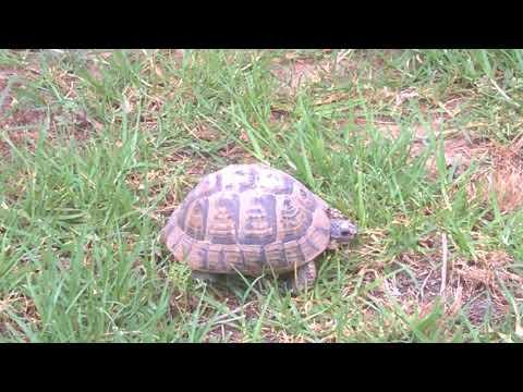 Велика туніська черепаха *** Tunisia, Hammamet - 2018 ***