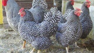 видео Рейтинг кур мясо яичных пород