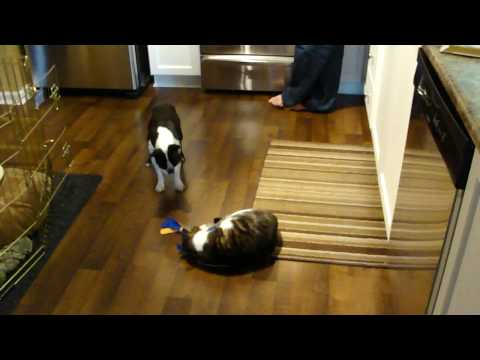 Boston Terrier vs. mean cat