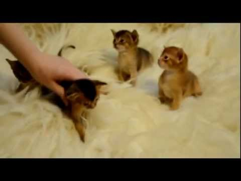 Abyssinian kittens at the age of 3 weeks.