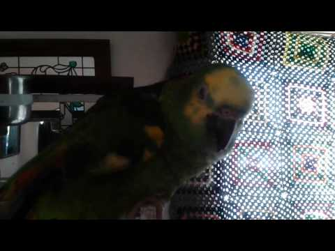 Amazon Parrot Making Calm Happy Noises