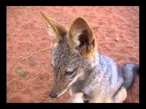 Affectionate Jackal in the Kalahari thumbnail