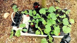 Warzywa w małym ogrodzie- sadzimi cukinie... uprawa.