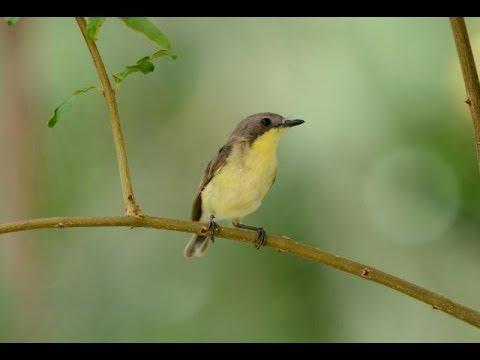 Download Lagu Suara Burung Remetuk Laut / Pleci Buara dan Videonya di Alam (Golden-bellied Gerygone)