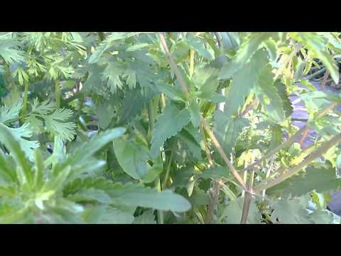 Змееголовник: выращивание и сорта
