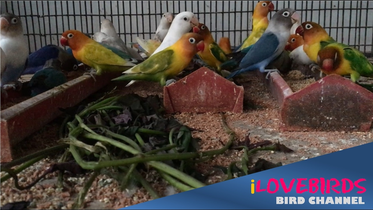 African Lovebirds Aviary Lunchtime YouTube