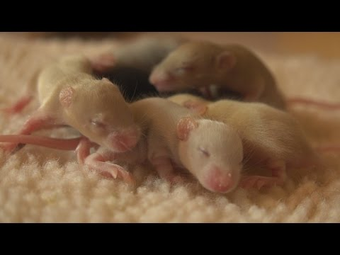 Clumping Behavior in Baby Mice