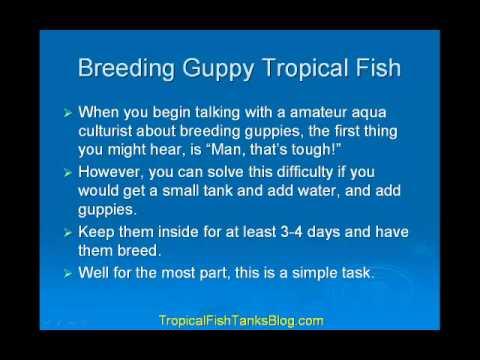 Breeding Guppy Tropical Fish