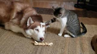 Cat bullies Husky