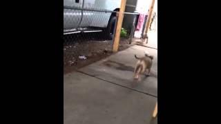 Bull Terrier Vs Rottweiler Mix