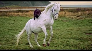 Funny Baby Goat Riding On Horses Funny Animals Videos