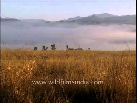 Mist covered mountains of Corbett National Park complemented by golden grasses!