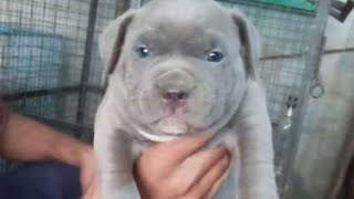 Top quality american pitbull puppy in punjab for sale  price 12000