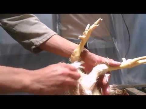 Ощипывание кур в домашних условиях