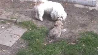Joschi's Rasselbande - Cute Puppies - かわいい子犬 -  Malteser Shih Tzu Yorkshire