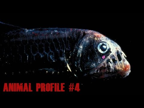 The Viperfish - Animal Profile