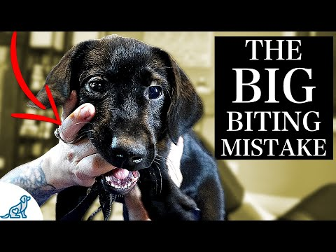 The BIGGEST Mistake People Make With A Puppy Biting Problem