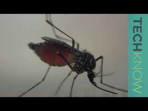 Can genetically-modified mosquitoes help eradicate malaria? | TechKnow