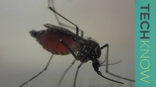 Can genetically-modified mosquitoes help eradicate malaria? - TechKnow