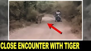 FULL VIDEO: Tigers Surround Bikers in Tadoba Andhari Tiger Reserve