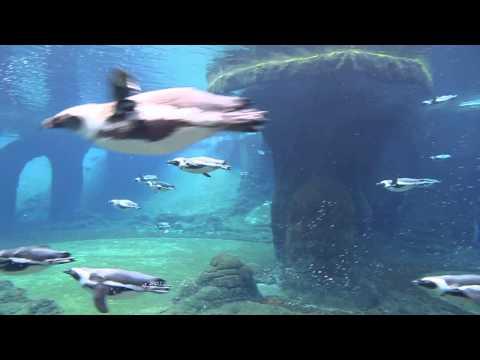African penguins - underwater view in Wrocław Zoo Afrykarium