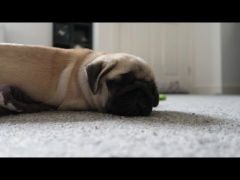 How lazy actually is a pug puppy?