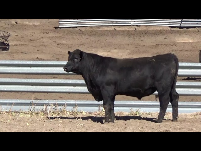 Connealy Angus Lot 30