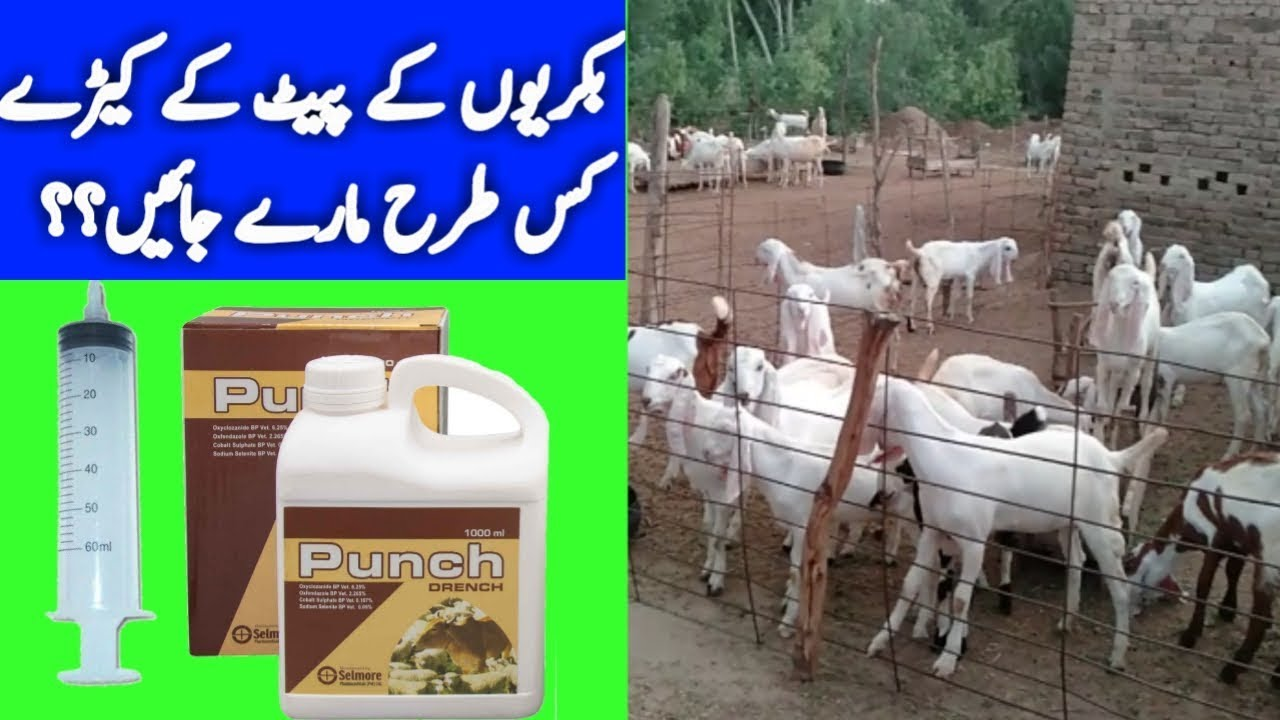 Deworming of Goats in Goat Farming || Goat deworming practical || deworming  medicine