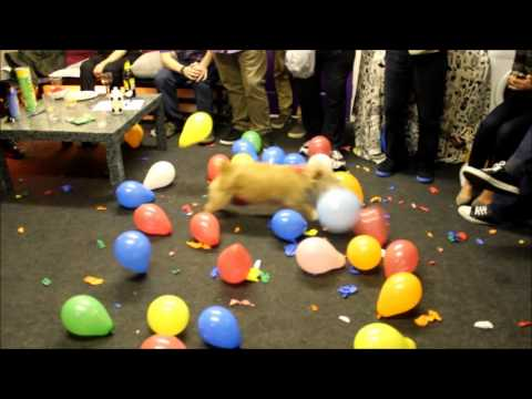 MUST SEE! - CALLY The Wonder Dog Destroys 150 Balloons in 2 Mins - Hilarious!