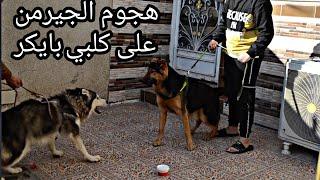 شوفو ردة فعل كلبي بايكر لمن شاف الكلب الجيرمن صدمني