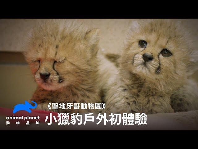 小獵豹戶外初體驗 動物星球頻道
