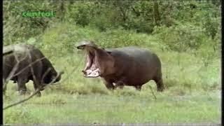 Hippo vs Cape Buffalo