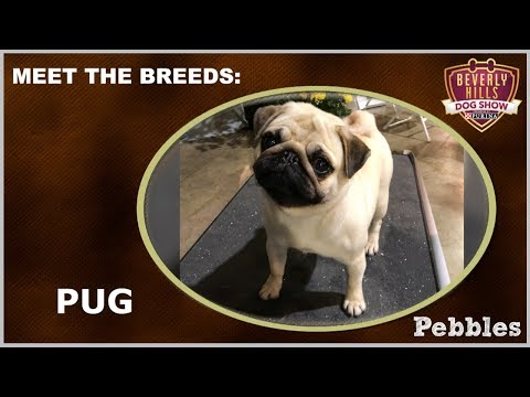 The Beverly Hills Dog Show: Meet The Breeds - Pug