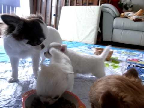 とっても可愛いチワワの子犬。その二。