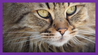 GUESS THE CAT BREED | HOW MANY DO YOU KNOW? | PICTURE QUIZ | QUIZ FANATIC
