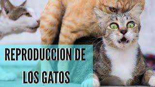 REPRODUCCIÓN DE LAS GATAS