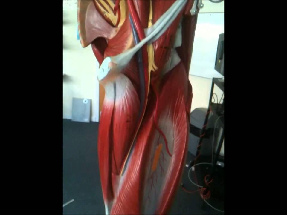 Nerves Of The Leg Youtube