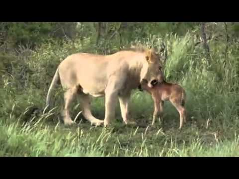 Animal Attack lions attack baby cow of another lion Top ...