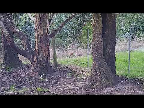 Rabbit and Hare Hunting using Shotguns and Dachshunds, Victoria Australia. Filmed with Shotkam.