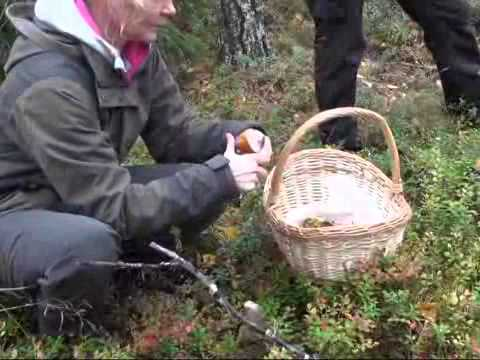 Mushroom hunting in Finland's forest