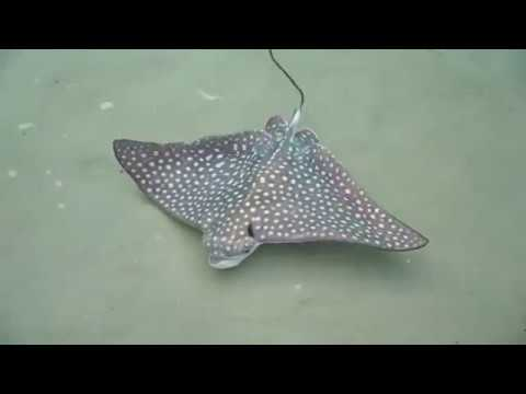 The Jim Colbert Show - Ever Seen A Spotted Eagle Ray Birth? Yeah, We Haven't Either - Here You Go!