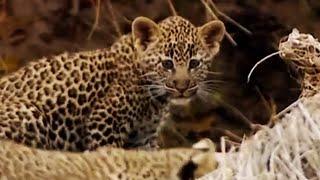 Leopard Cubs Learn to Climb | Little Big Cat | BBC