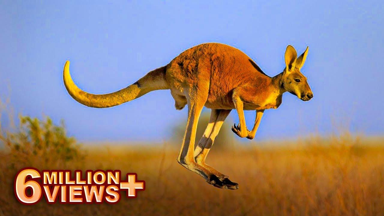 Download कांगारू रेगिस्तानमें ही क्यूँ पाये जाते है   Reality Of Kangaroos