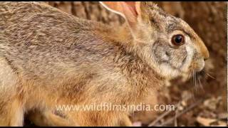 Black-naped Hare, Ranthambhore